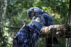 Twee blauwe araras samen in kooi stock foto