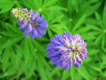 Twee blauwe bloemen royalty-vrije stock foto's