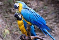 Twee Blauwe en Gouden Ara's Stock Foto