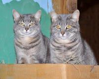 Twee blauwe gestreepte katkatten Stock Fotografie