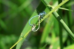 Twee blauwe libellen koppelen op een blad Royalty-vrije Stock Afbeeldingen