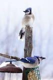 Twee Blauwe Vlaamse gaaien Stock Foto's