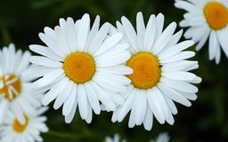 Twee bloeiende madeliefjes Witte bloemen stock afbeeldingen
