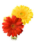 Twee Bloemen Gerber stock foto's