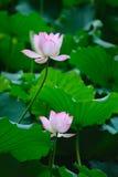 Twee bloemen van Lotus Stock Afbeeldingen