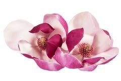Twee bloemen van roze die magnolia op witte achtergrond, dichte omhooggaand wordt geïsoleerd royalty-vrije stock afbeelding