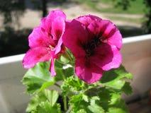 Twee bloemen van Vorstelijk Ooievaarsbekpac Suikergoed bloeit Viooltje royalty-vrije stock afbeelding