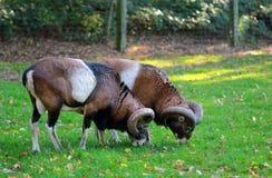 Twee bokken die gras eten Royalty-vrije Stock Afbeelding