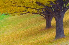 Twee Bomen in de Herfst Stock Afbeelding