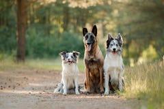 Twee border collie en Belgische herder op de aard Stock Fotografie