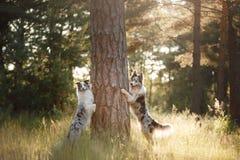 Twee border collie van een boom in het bos Stock Fotografie