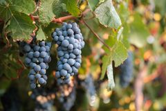 Twee bossen van Syrah-druiven op wijnstok bij zonsondergang Royalty-vrije Stock Foto