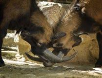Twee boze geiten Stock Foto's