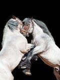 Twee brabant paard het grootbrengen op Zwarte Royalty-vrije Stock Afbeeldingen