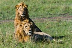 Twee Broer Lions In Masai Mara Stock Foto's