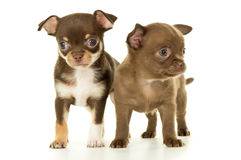 Twee bruin chihuahuapuppy stock foto's