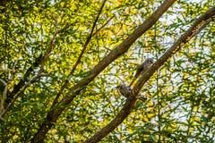 Twee bruin-eared bulbul neergestreken op een boomtak Stock Afbeelding
