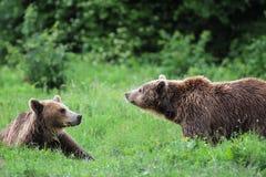 Twee bruine beren die in het bos spelen stock afbeelding