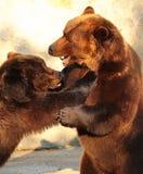 Twee bruine beren die (Ursus-arctos) in een dierentuin spelen Royalty-vrije Stock Afbeeldingen