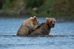Twee bruine beren spelen het Van Alaska royalty-vrije stock foto's