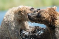 Twee bruine beren spelen het Van Alaska stock afbeeldingen