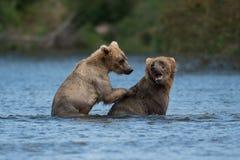Twee bruine beren spelen het Van Alaska royalty-vrije stock fotografie