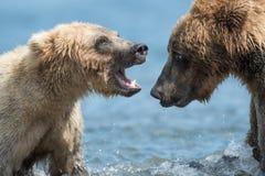 Twee bruine beren spelen het Van Alaska stock afbeelding