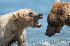 Twee bruine beren spelen het Van Alaska royalty-vrije stock foto