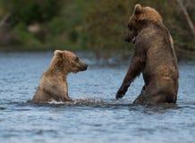 Twee bruine beren spelen het Van Alaska royalty-vrije stock afbeeldingen