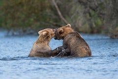 Twee bruine beren spelen het Van Alaska stock foto