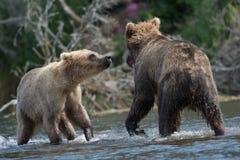 Twee bruine beren vechten het Van Alaska stock foto