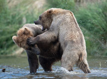 Twee bruine beren vechten het Van Alaska royalty-vrije stock fotografie