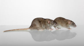 Twee bruine binnenlandse ratten Royalty-vrije Stock Fotografie