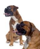 Twee bruine boksers Stock Foto