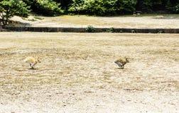 Twee bruine die konijnen bij de grond in werking worden gesteld stock foto