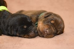 Twee bruine en zwarte Nieuw - geboren puppyslaap Royalty-vrije Stock Fotografie