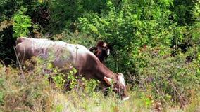 Twee bruine koeien die op bergweideheuvel bij zonnige dag weiden stock video