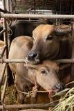 Twee bruine mooie paarbuffels in drijven het eten van gras bijeen stock foto