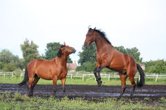 Twee bruine paarden die in de kudde vechten Royalty-vrije Stock Afbeelding
