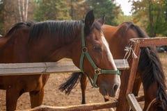 Twee bruine paarden die elkaar over een rustieke houten fenc nuzzling Stock Foto's