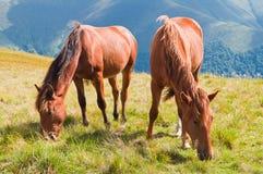 Twee bruine paarden die op bergweiland weiden in de Karpaten Stock Afbeeldingen