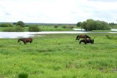 Twee bruine paarden die op bergweiland weiden in de Karpaten Royalty-vrije Stock Afbeeldingen