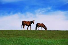 Twee bruine paarden die op weiland weiden Stock Afbeeldingen