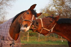 Twee bruine paarden die samen spelen Stock Afbeelding