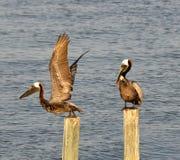 Twee bruine pelikanen Royalty-vrije Stock Afbeelding
