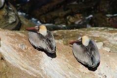 Twee bruine pelikanen Stock Fotografie