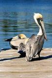 Twee bruine pelikanen op dok Royalty-vrije Stock Afbeeldingen
