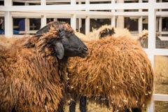 twee bruine schapen Royalty-vrije Stock Afbeeldingen