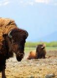 Twee buffels royalty-vrije stock foto