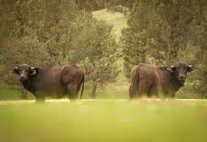 Twee buffels die naar de camera kijken stock afbeeldingen